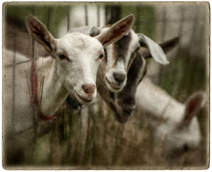 Goats at the Fence